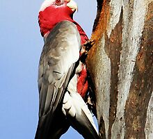 Galah Climbing up to her nest  by Kym Bradley