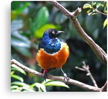 African Superb Starling Canvas Print