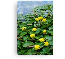 Yellow waterlilies in pond Canvas Print