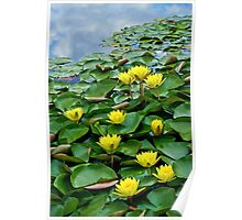 Yellow waterlilies in pond Poster