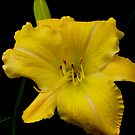 Daylily with a Message! by Carol Clifford