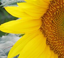 Let The Sunflower Shine by Christy Patino