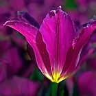 Purple Tulip by cclaude