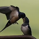 Swallows by Viv Andrew