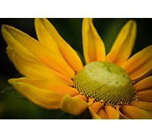 Macro Yellow Daisy Photographic Print