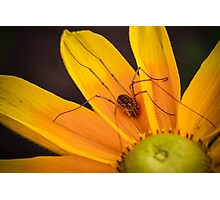 Daddy Long Legs On A Yellow Daisy Photographic Print