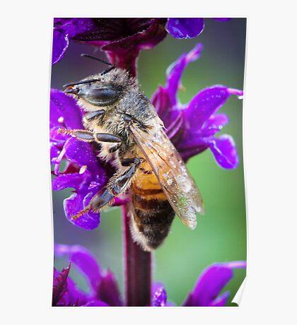 Bumblebee On Purple Poster