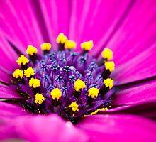 Macro Purple Daisy by Christy Patino