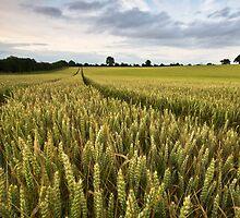 Wheat, Suffolk by Thomas Harvey