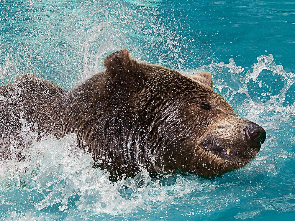 Bear's splashing in the Water by Henry Jager