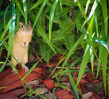 13-Lined Ground Squirrel by Christy Patino