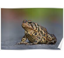 American Toad Crossing the Road. Poster