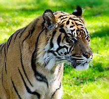 Sumatran Tiger Portrait  by Saija  Lehtonen