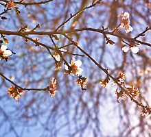 Blossoms  by karlamckenzie