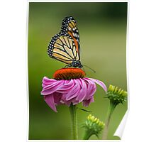 Monarch Butterfly on Cone Flower Poster