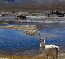 Llama  by Fiona Lockhart