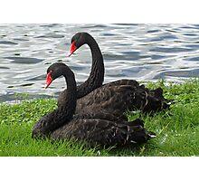Black swan symmetry Photographic Print