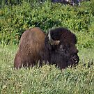 Resting Bison, Yellowstone by Philip Kearney