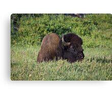 Resting Bison, Yellowstone Canvas Print
