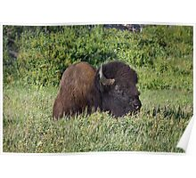 Resting Bison, Yellowstone Poster