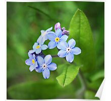 Blue Forget me nots Poster