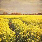 Yellow rapeseed field by Lyn  Randle