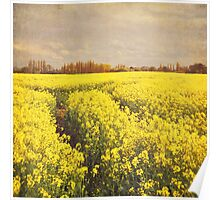 Yellow rapeseed field Poster