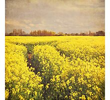 Yellow rapeseed field Photographic Print