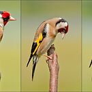 Goldfinch ~Triptych by Margaret S Sweeny