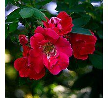 """Rose"" Photographic Print"