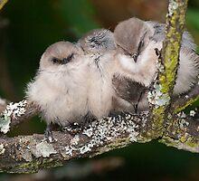 Snuggling Bushtits by Tom Talbott