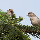Begging Bushtit by Tom Talbott
