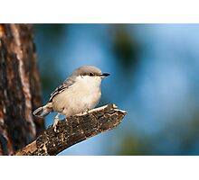 Pygmy Nuthatch Photographic Print