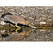 Juvenile Green Heron Fishing Photographic Print