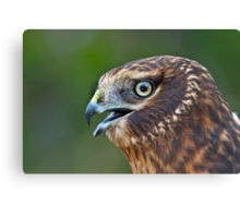 Northern Harrier Portrait Canvas Print