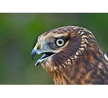 Northern Harrier Portrait Photographic Print