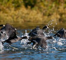 Take Off - American Coots by Tom Talbott