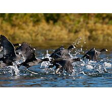Take Off - American Coots Photographic Print
