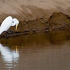 Great Egret Fishing by Tom Talbott