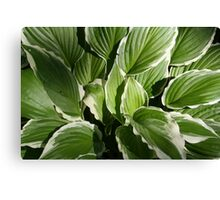 Hosta in Green and White Canvas Print