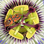 Bug on passiflora by jimmy hoffman