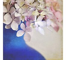 Pink and blue Hydrangeas Photographic Print