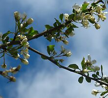 April blossoms by MarianBendeth