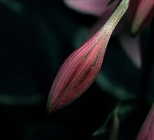 Can't stop, another Hosta ! by Elfriede Fulda
