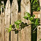 Ivy Pickets by Mary Fox