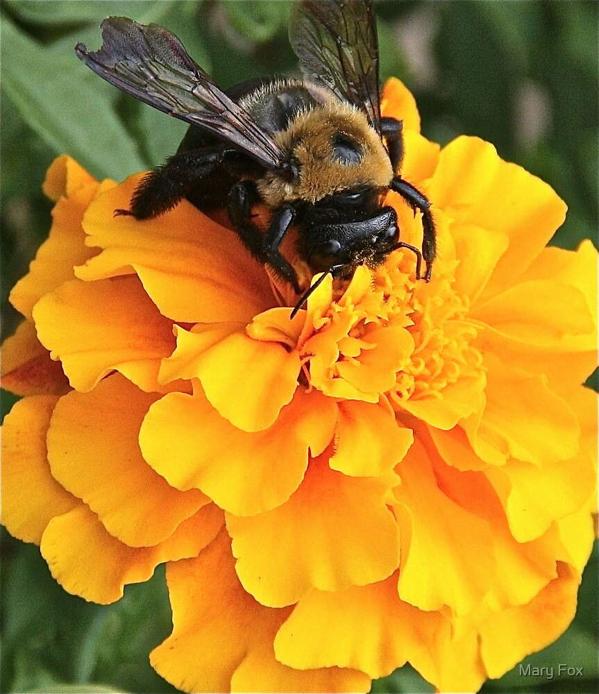 My friend, the marigold…. by Mary Fox
