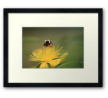 hovering for honey Framed Print