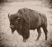 Yellowstone Bison by Dana Horne