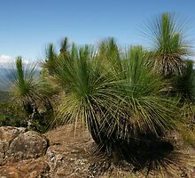 Grasstrees on the summit of Mt Mitchell. Scenic Rim. Qld. by Ian Hallmond