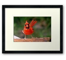Eye contact with a cardinal Framed Print